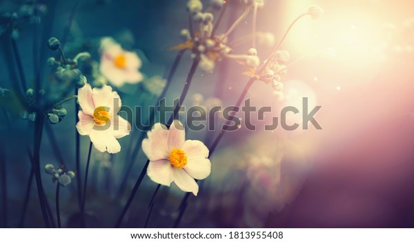 Beautiful anemone flowers on dark evening in rays of sunset sun close-up macro in nature. Delightful atmospheric airy artistic image with golden sun glare.