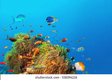 Beautiful anemones with colored fish around, underwater life. Copyspace for text
