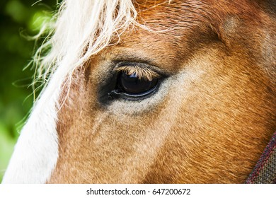 beautiful anglo-arabian stallion against blue sky summertime