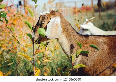 A beautiful Anglo-Nubian goat eats green leaves in a meadow.