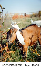 A beautiful Anglo-Nubian goat eats green leaves in a meadow. Vertical photo.