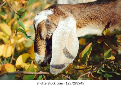 Beautiful Anglo-Nubian goat. Head close up.