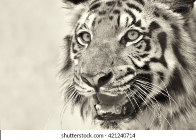 Beautiful angry face of Royal Bengal Tiger , Panthera Tigris, West Bengal, India - tinted image . It is largest cat species and endangered , in Sundarban mangrove forest of India and Bangladesh.