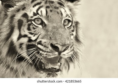 Beautiful angry face of Royal Bengal Tiger , Panthera Tigris,West Bengal, India - tinted image.It is largest cat species and endangered,only found in Sundarban mangrove forest of India and Bangladesh.
