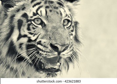 Beautiful angry face of Royal Bengal Tiger, Panthera Tigris,West Bengal, India -tinted image. It is largest cat species and endangered, only found in Sundarban mangrove forest of India and Bangladesh.
