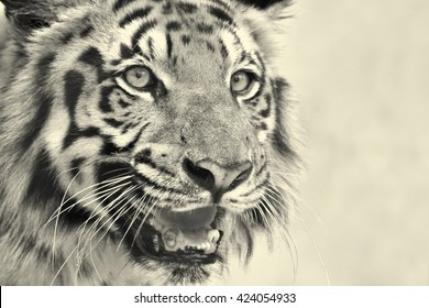 Beautiful angry face of Royal Bengal Tiger,Panthera Tigris, West Bengal, India - tinted image.It is largest cat species and endangered, only found in Sundarban mangrove forest of India and Bangladesh.