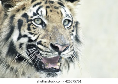 Beautiful angry face of Royal Bengal Tiger, Panthera Tigris, West Bengal, India - tinted image.It is largest cat species and endangered,only found in Sundarban mangrove forest of India and Bangladesh.