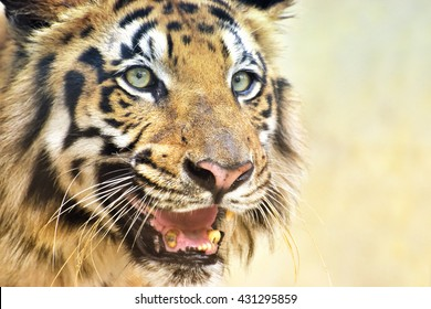 Beautiful angry face of Royal Bengal Tiger , Panthera Tigris, West Bengal, India . It is largest cat species and endangered , only found in Sundarban mangrove forest of India and Bangladesh.