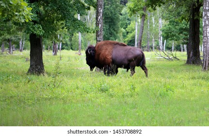 Beautiful animal bison photographed close-up in the reserve