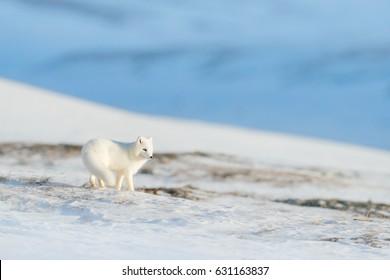 Beautiful animal in snow. Running polar fox. Wildlife action scene from nature, Vulpes lagopus, in the nature habitat, Svalbard, Norway.