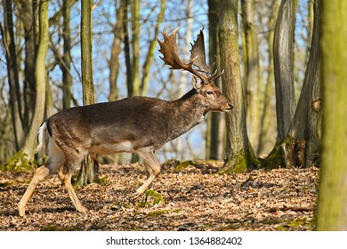 Beautiful animal in a wild forest in nature. Fallow deer (Dama dama)