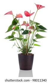 Beautiful Anthedesia anthurium with red, pink and green flowers in dark flowerpot on white background.