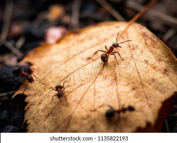 Beautiful ants. Ant red, forest autumn leaf. Shallow depth of field.