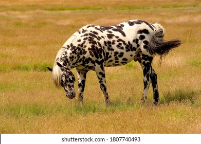 A beautiful appaloosa stallion on a horse ranch near Eugene Oregon.  The Appaloosa is an American horse breed best known for its colorful spotted coat pattern