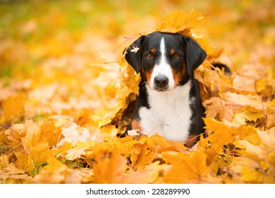 Beautiful Appenzeller Mountain dog in the autumn