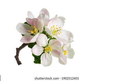 Beautiful apple blossom flower with branch isolated on white background.