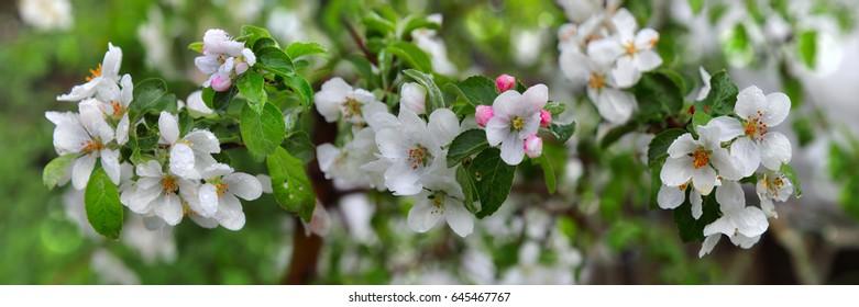 Beautiful apple tree branch, flowers of apple, background blur, skinali flowers