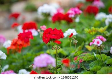 Beautiful of Appleblossom Geranium flower in the garden