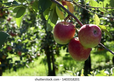 Beautiful apples hanging on a tree branch.