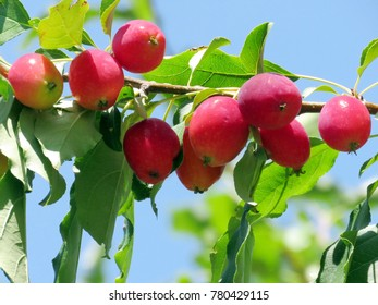 Beautiful apples on a tree in the summer in Thornhill, Canada, August 19, 2016