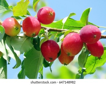 Beautiful apples on a tree in Thornhill, Canada, August 19, 2016