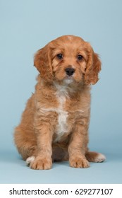 Beautiful apricot colored cavapoo puppy sitting on a blue background