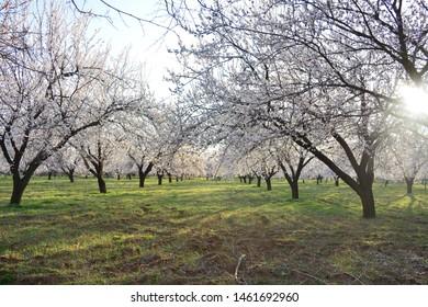 Beautiful Apricot Farm in Malatya Spring Season