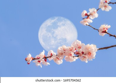 Beautiful apricot flowers and super moon with the blue sky background.