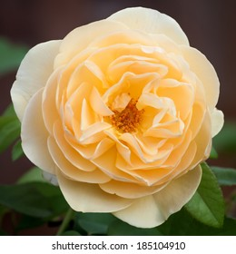 """Beautiful apricot yellow flower of the """"Buff Beauty"""" Hybrid Musk Rose in the garden"""