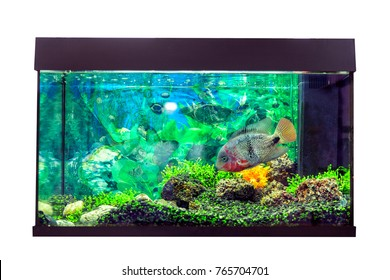 Beautiful aquarium with astronotus fish (Astronotus ocellatus)