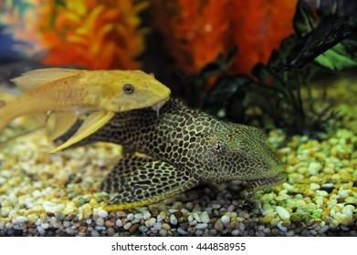 Beautiful aquarium fish spotted coloring, the background