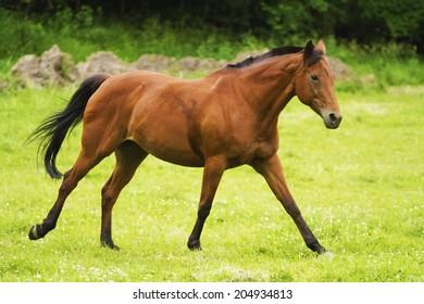beautiful arabian horse running