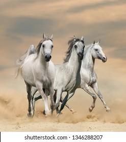Beautiful arabian horses in desert sunset runninf wild