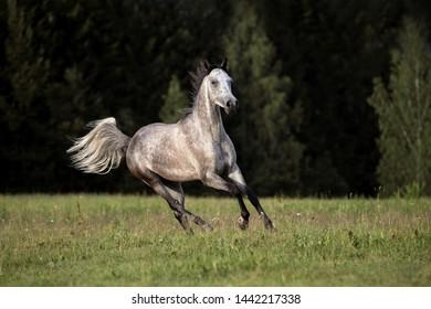 Beautiful Arabian stallion running gallop on the summer meadow.