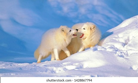 Beautiful Arctic Foxes, pair together during mating season.