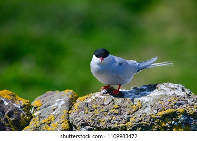 Beautiful Arctic Tern Sterna Paradisaea peched on wall in bright Spring sunshine