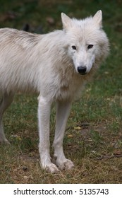 a beautiful arctic wolf with white hairs