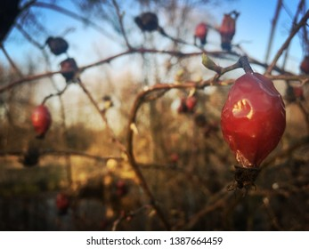 Beautiful Ashberry in spring time