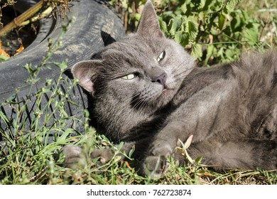 Beautiful ashen cat luxuriated on the grass (Russian Blue)