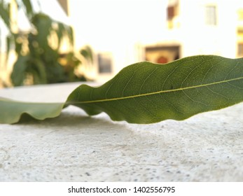 beautiful ashok tree leaf closely clicked