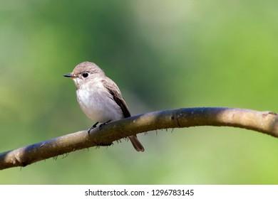 Beautiful Asian Brown Flycatcher bird. Non-breeding Visitor of Thailand.