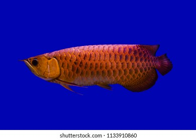 Beautiful Asian red Arowana or Science name is Scleropages formosus the Asian dragon fish