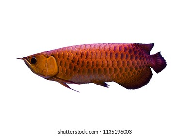 Beautiful Asian red Arowana or Science name is Scleropages formosus the Asian dragon fish with clipint patch isolated on white background