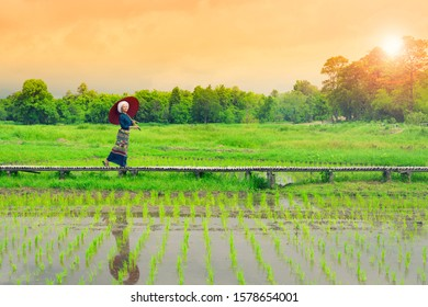 Beautiful asian woman wearing traditional dress with red umbrella walking on wooden walk path in greenery rice field paddle with trees over colorful sunset sky background.