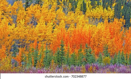 Beautiful Aspen Forest in prime autumn colors, along Alaska Highway near Teslin, Yukon  Canada, panoramic