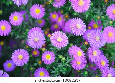 Beautiful Aster flowers background