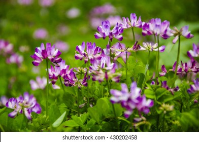 The beautiful astragalus sinicus flowers in spring