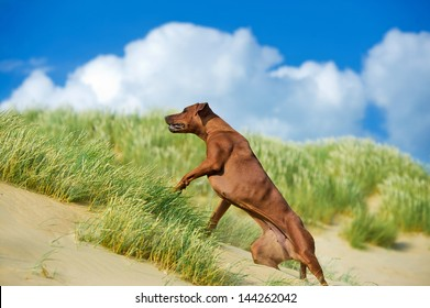 Beautiful athletic dog rhodesian ridgeback puppy active play in sand grass