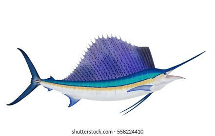 A beautiful Atlantic sailfish (Istiophorus albicans) illustrated by Steven Russell Smith isolated on a white background.