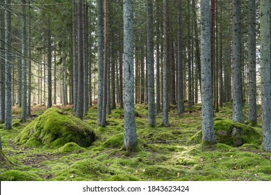 Beautiful atmosphere in a green mossy spruce tree forest